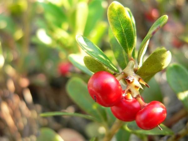 Medveszőlő a leghatékonyabb gyógynövény Vizeletkiválasztó rendszer normalizálása,