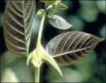 Uncaria tomentosa - Macskakarom